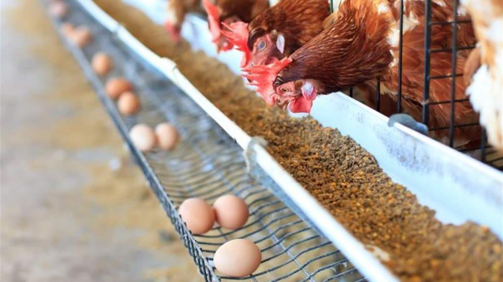 After the prohibition of Turkish eggs .. Slaughter and destroy 18 million chickens and bankruptcy 8 producers